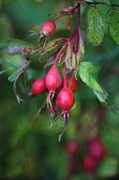 Prickly Rose Posters - Rose Hips Poster by Shirley Sirois