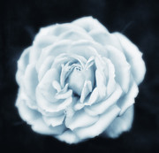 HJBH Photography - Rose