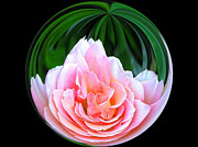 Rose In A Ball Print by Carol Sawyer