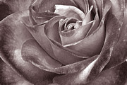 Sepia Toned Acrylic Prints - Rose In Black And White by Ben and Raisa Gertsberg