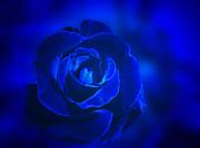 Rose In Blue Print by Sandy Keeton