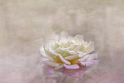 Judy Hall-Folde - Rose in Full Bloom