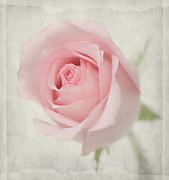 Pink Flower Prints Originals - Rose in soft pink by Hafiz Afraizal
