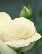 Roses - Rose in the rain by Cathie Tyler