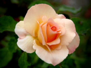 Garden Flower Posters - Rose is a Rose is a Rose Poster by Christine Till
