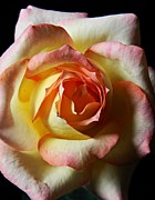 Neurotic Images Photography Prints - Rose Macro 2 Print by Chalet Roome-Rigdon