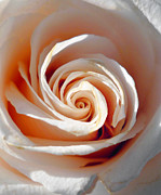 White Spiral Prints - Rose Magnificent Spiral  Print by Irina Sztukowski