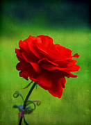 Single Rose Stem Photos - Rose of Love by Darren Fisher