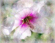 Fushia Digital Art - Rose of Sharon by Barbara Chichester