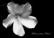 TONY GRIDER - Rose of Sharon Hibiscus BW
