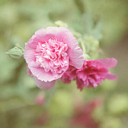 Hollyhocks Photos - Rose of Sharon by Kay Pickens