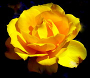 Yellow Flowers Posters - ROSE of SUN Poster by Karen Wiles