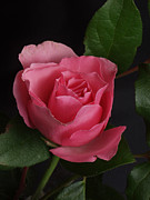 Photography By Govan; Vertical Format Prints - Rose on Black #7 Print by Andrew Govan Dantzler