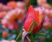 Red Rose Photos - Rose on Rose by Rona Black