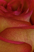 Bob Noble Photography - Rose Petals