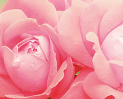 Featured Art - Rose Photography Pink Roses Pink Flower Photography Baby Girl Nursery Art Soft Girly Pink Wall Art by Amy Tyler