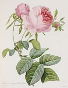 Botanical Metal Prints - Rose Metal Print by Pierre Joesph Redoute