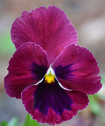 Rderder Photos - Rose Pink and Purple Face Pansy by Roy Erickson