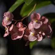Lynn Palmer - Rose Pink Begonia Blossoms