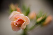Soft Focus Prints - Rose Pirouette Print by Mike Reid