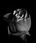 Neurotic Images Photography Prints - Rose Portrait BW Print by Chalet Roome-Rigdon