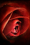 Deep Red Flowers Posters - Rose Red Poster by Stephanie Frey