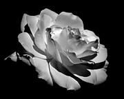 Rose Metal Prints - Rose Metal Print by Rona Black