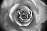Petals Photos - Rose Spiral 4 by Kim Lagerhem