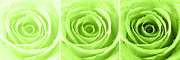 Rain Drop Prints - Rose Trio - Lime Green Print by Natalie Kinnear