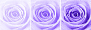 Purple Flowers Digital Art - Rose Trio - Purple by Natalie Kinnear