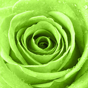 Lime Digital Art - Rose with Water Droplets - Lime Green by Natalie Kinnear