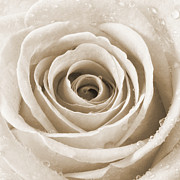 Water Drops Photographs Posters - Rose with Water Droplets - Sepia Poster by Natalie Kinnear