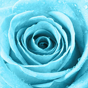Natalie Kinnear Photos - Rose with Water Droplets - Turquoise by Natalie Kinnear