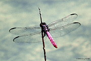 Dragonflies Originals - Roseate Skimmer by Greg Hill