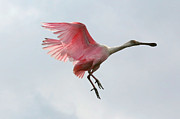 Spoonbill Framed Prints - Roseate Spoonbill in Flight Framed Print by Carol Groenen