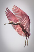 Roseate Spoonbill Landing Print by Capt Gregory Daley