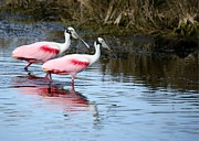 Beach Photo Posters - Roseate Spoonbill Mates Poster by Sabrina L Ryan