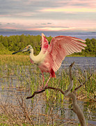 Roseate Spoonbill At Lake St. George Print by Schwartz