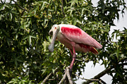 Roseate Spoonbill  What Are You Looking At 2 Print by Capt Gregory Daley