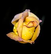 Judy Hall-Folde - Rosebud and Dew