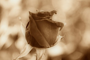 Interior Still Life Art - Rosebud Sepia Tone by Cheryl Young