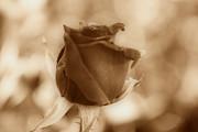 Rosebud Sepia Tone Print by Cheryl Young