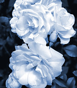 Blue Flowers Photos - Roses are Blue by Jennie Marie Schell