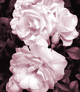 Mauve Roses Photo Acrylic Prints - Roses are Mauve Monochrome Acrylic Print by Jennie Marie Schell