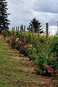 Pinot Noir Photos - Roses at Crumbled Rock Winery by CJ Lesieutre