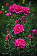 Rosebush Posters - Roses in the Garden Poster by Mary Machare