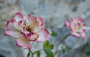 Roses Print by Iryna Soltyska