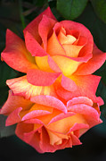 Deb Halloran - Roses of Many Colors