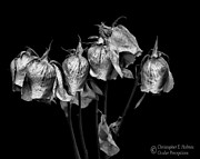 Christopher Holmes - Roses of Memories Past - BW