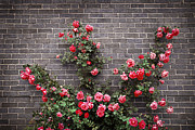 Gray Building Framed Prints - Roses on brick wall Framed Print by Elena Elisseeva